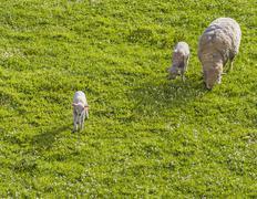 courious lamb - stock photo