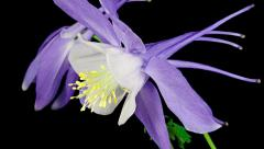 Aquilegia flower blooming timelapse Stock Footage