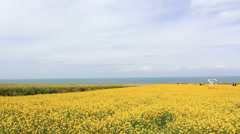 Rapeseed flowers beside Qinghai lake,the biggest lake of China Stock Footage
