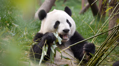 Panda Bear Feeding on Bamboo Stock Footage