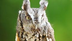 Eastern Screech Owl Stock Footage