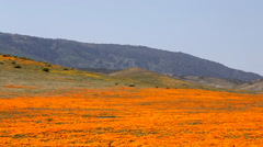 Sweeping Panoramic Footage of Poppies Stock Footage