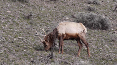 Elk Grazing and Urinating Near Mammoth Hot Springs in Yellowstone National Park Stock Footage