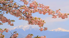Blossoming cherry tree. Stock Footage