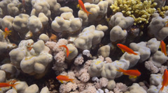 Coral reef close up - Golden anthias moving in ocean swell - close up - 25fps Stock Footage