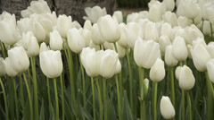 White ottoman tulips, Istanbul, close up, tulips festival, sad Stock Footage