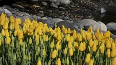 Yellow ottoman tulips, Istanbul, close up, tulips festival, sunny, happy Stock Footage
