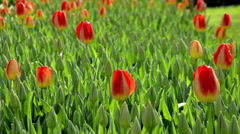 Close up of red tulip bulbs on a sunny day  Stock Footage
