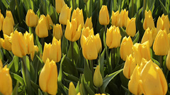 Close up of yellow  tulips at Istanbul pan shot Stock Footage