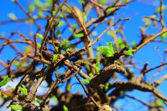 bonsai tree coming back to life  - stock photo