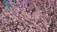 Blooming apricot Stock Footage
