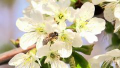 Collecting Nectar Stock Footage