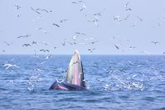 Bryde whale and seagull Stock Photos
