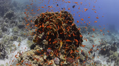 Coral reef covered with vibrant orange school of fish - 25fps Stock Footage