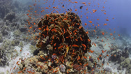 Stock Video Footage of Coral reef covered with vibrant orange school of fish - 25fps
