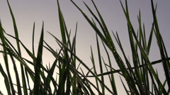 Early Morning Grass - stock footage