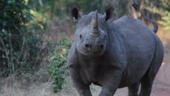 Black rhino mock charge Stock Footage