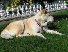 dog Akita Inu japanese breed - stock photo