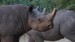 Father and calf black rhino Stock Footage