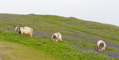 British Primitive goat breed horns and beard white grey and black with bluebells Stock Photos