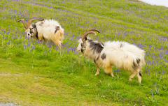 British Primitive goat breed horns and beard white grey and black with bluebells - stock photo