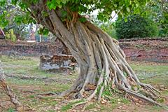 mighty tropical tree in the ancient city of ayuttaya, thailand - stock photo