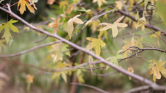 Maple leaves moved by the wind in an autumn day Stock Footage