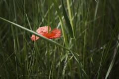 Lone red poppy on green field Stock Photos