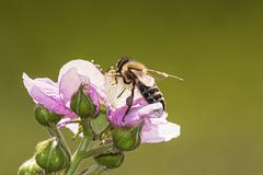 Stock Photo of bee pollinated blooming blackberry.