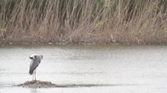 AIRONE 4, A heron is looking at the river, waiting for the fish Stock Footage