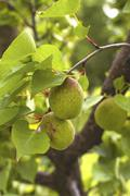 Stock Photo of green unripe apricots on the tree.