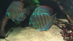 Various Tropical Discus Fish Stock Footage