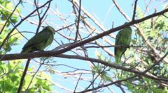 066 Pantanal, Yellow-collared Macaws (Primolius auricollis) in tree, slowmotion Stock Footage