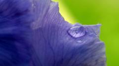 Bearded iris after the rain Stock Footage