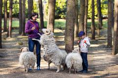 Young woman with son feeding group of sheeps Stock Photos