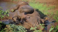 Black rhino wallowing Stock Footage