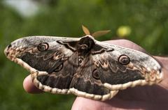 Giant Peacock Moth Stock Photos