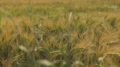 Barley Field, cereal agriculture, wheat organic farm background  Tracking shot Stock Footage