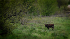 The Ukrainian farmer conducts cows home Stock Footage