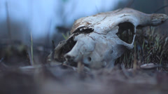 Cow skull Stock Footage