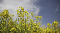 Rapeseed in Germany - stock footage