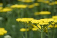 Achillea - stock photo