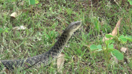 Stock Video Footage of Checkered Keelback Snake in nature