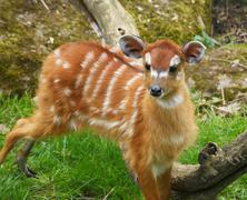 Stock Photo of cub of antelope sitatunga