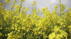 Rapeseed in Germany Stock Footage
