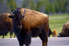 Wyoming bison. yellowstone national park wildlife - american buffalo. wild an Kuvituskuvat