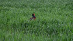A Pheasant Keeps An Eye on His Surroundings Stock Footage