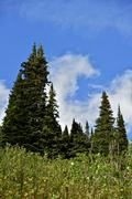 alberta forest - alberta canada vertical photo. mountains forest. - stock photo