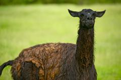Black lama right after rain. lama on pasture. agriculture collection. Stock Photos