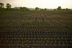 farmland corn field in illinois, usa. agriculture photo collection. - stock photo